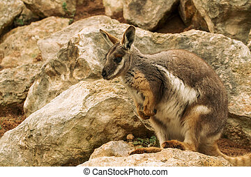 Australian Rock Wallaby - Rock Wallabies are small kangaroos...
