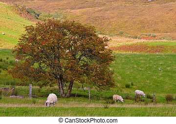 Sheep grazing in the meadow, Isle of Skye, Scotland