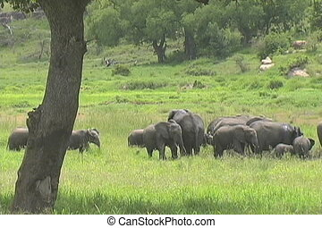 Elephants walking - A large herd of elephants walking in the...