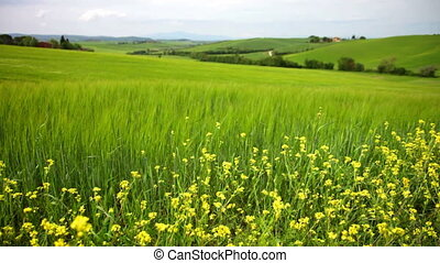 Summer landscape with a green field and yellow flowers