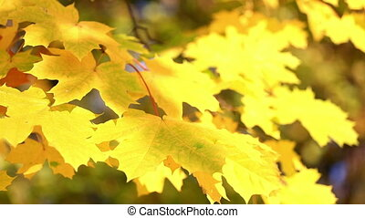 Autumn leaves  from maple branches