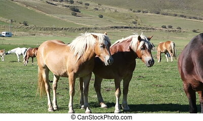 Horse black and Golden brown color