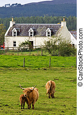 Highland farm - A herd of highland cattle in a scottish farm