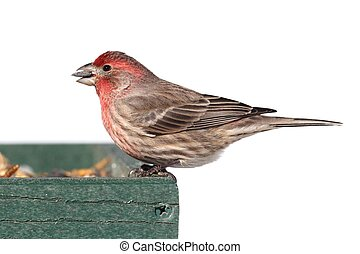 Male House Finch (Carpodacus mexicanus) perched on a feeder...