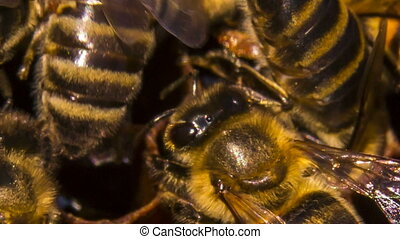 Macro: Bees Eating Honey On Honeycomb - Macro shot of a...