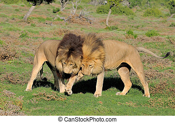 Two Kalahari lions playing in the Addo Elephant National...