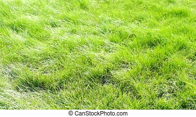 Green grass field. The spikelets are leaning in the wind