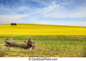 Healthy Canola Fields - Fields of canola plants growing in...