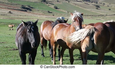 Horse black and Golden brown color graze