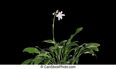 Blooming violet hosta flower buds ALPHA matte, FULL HD Hosta...
