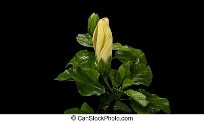 Blooming white Hibiscus flower buds ALPHA matte, FULL HD...