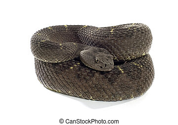 Arizona Black Rattlesnake coiled and isolated on white