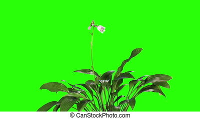 Blooming violet hosta flower buds green screen, FULL HD...