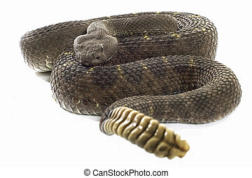 Arizona Black Rattler - Arizona Black Rattlesnake coiled and...
