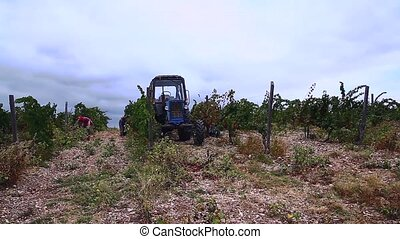 people gather grapes and tractor.