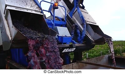 Grapes being unloaded at vineyard.