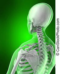 female back - 3d rendered illustration of a female skeletal...
