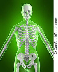 female skeleton - 3d rendered illustration of a female...