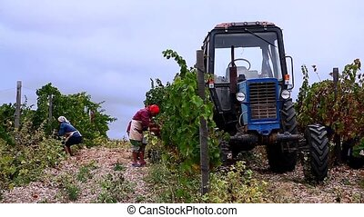 people gather grapes and tractor