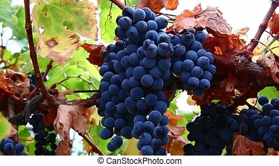 Bunches of red wine grapes hanging