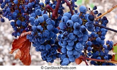 Bunches of red wine grapes hanging on the wine in late...