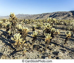 Cholla Cactus Garden in Joshua Tree national park -...