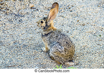 wild rabbit with big ears watches the area