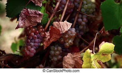 pink grapes in the vineyard