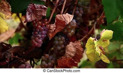 pink grapes in the vineyard.