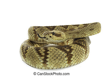 Black Tailed Rattlesnake coiled and isolated on white