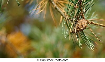 Cone on a pine tree in the wind