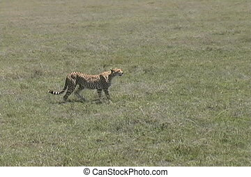 Cheetah walking across the Serengeti plains Tanzania Africa