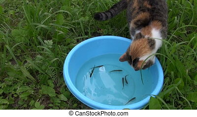 active cat catch fish - Hungry tabby cat catch and eat fish...