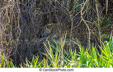 Wild Jaguar licking itself behind plants in riverbank,...