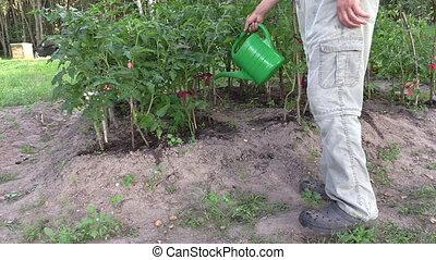 gardener water tomato