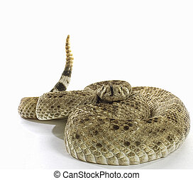 Western Diamondback Rattlesnake coiled ready to strike on...