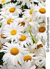 flower - daisy flower backgorund closeup