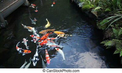 Colorful Koi Fish Swimming in Pond