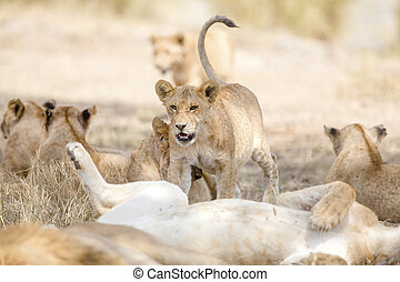Cub playing in large lion pride at the savannah - Many lions...