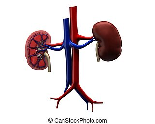 human kidneys - 3d rendered anatomy illustration of human...