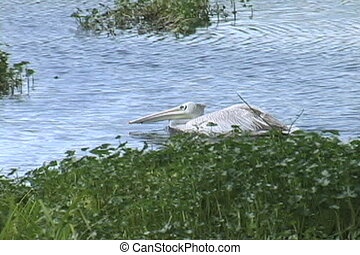 Great White Pelican padding by hippo in a pond in the...