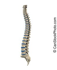human spine - 3d rendered illustration of a human spine