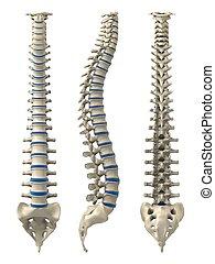 humano, Espina dorsal
