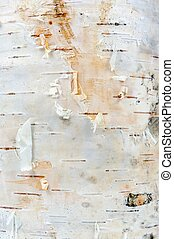 White Birch Tree Bark Texture - A close-up of white young...