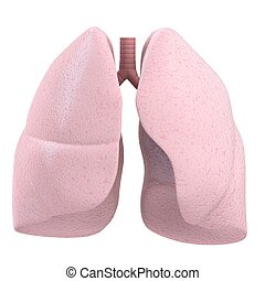 human lung - 3d rendered illustration of a human lung