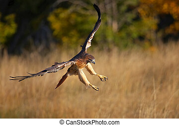 Red-tailed hawk in flight - Red-tailed hawk Buteo...