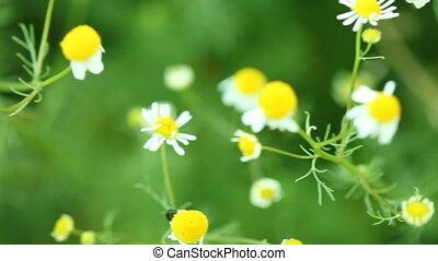 camomile chamomile flowers wildflowers on the green meadow....