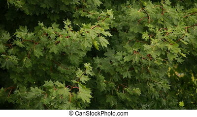 Maple tree branch swaying in the wind