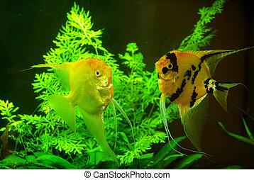aquarium - fish in a aquarium water