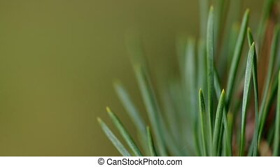 Detail of pine needles in the wind